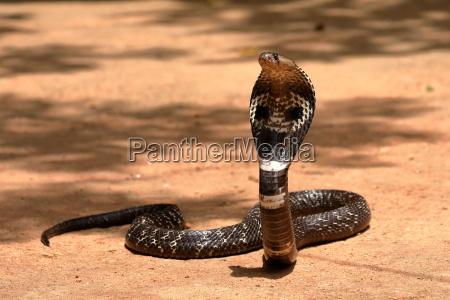 suedasiatische kobra oder brillenschlage in sri