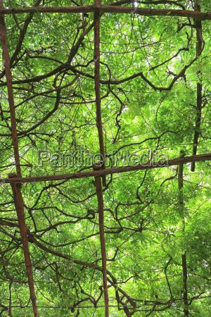 overhead green vines