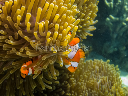 zwei kleine anemonenfische