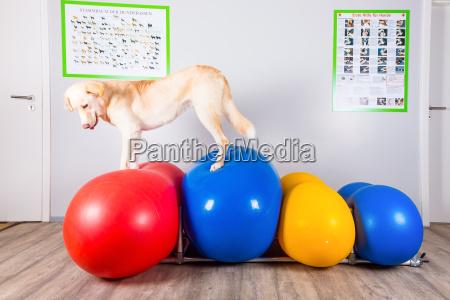 hund balanciert ueber hindernisse in der