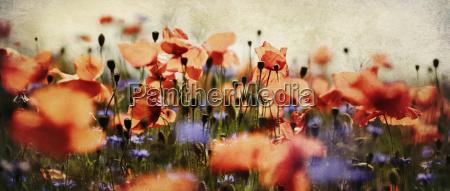 mohn und kornblumen panorama nostalgisch
