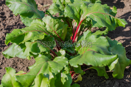 growing beetroot in a vegetable garden