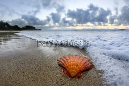 seashell on beach at sunrise laie