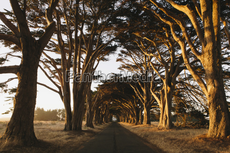 view along a tunnel of cypress