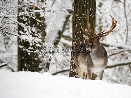 fallow deer in winter in the
