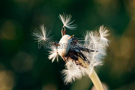 loewenzahnbluete im fruehling