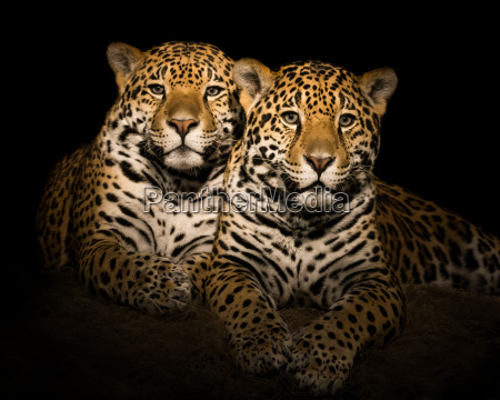 jaguar paar v