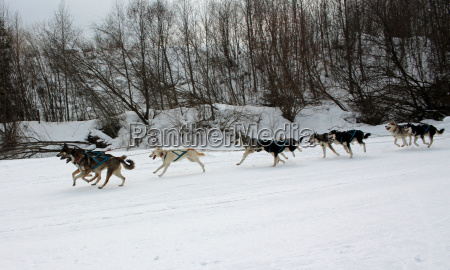 dog huskies husky polar dogs running