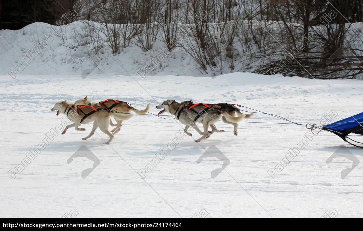 hund, , schlittenhunde, , husky, , polarhunde, , rennen, , schlittenhunderennen, - 24174464