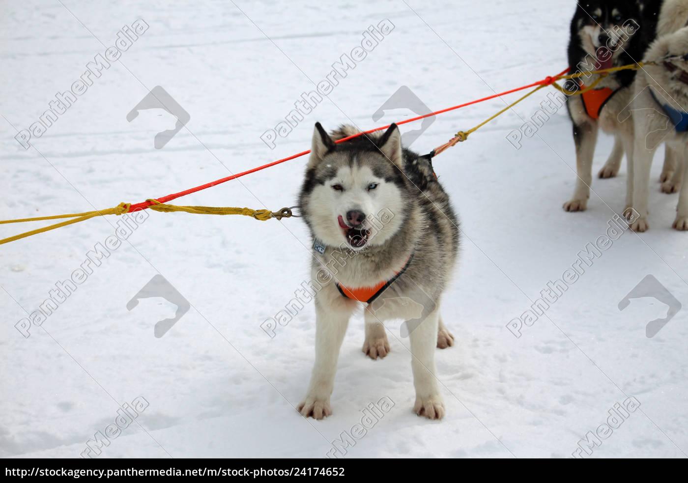 hund, , schlittenhunde, , husky, , polarhunde, , rennen, , schlittenhunderennen, - 24174652