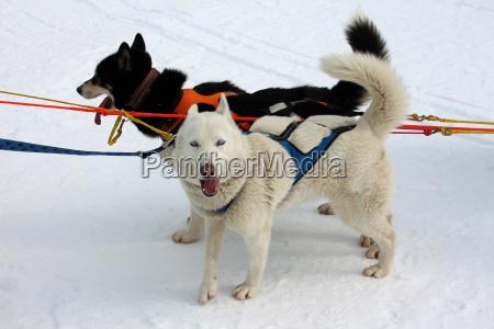 hund, , schlittenhunde, , husky, , polarhunde, , rennen, , schlittenhunderennen, - 24174684