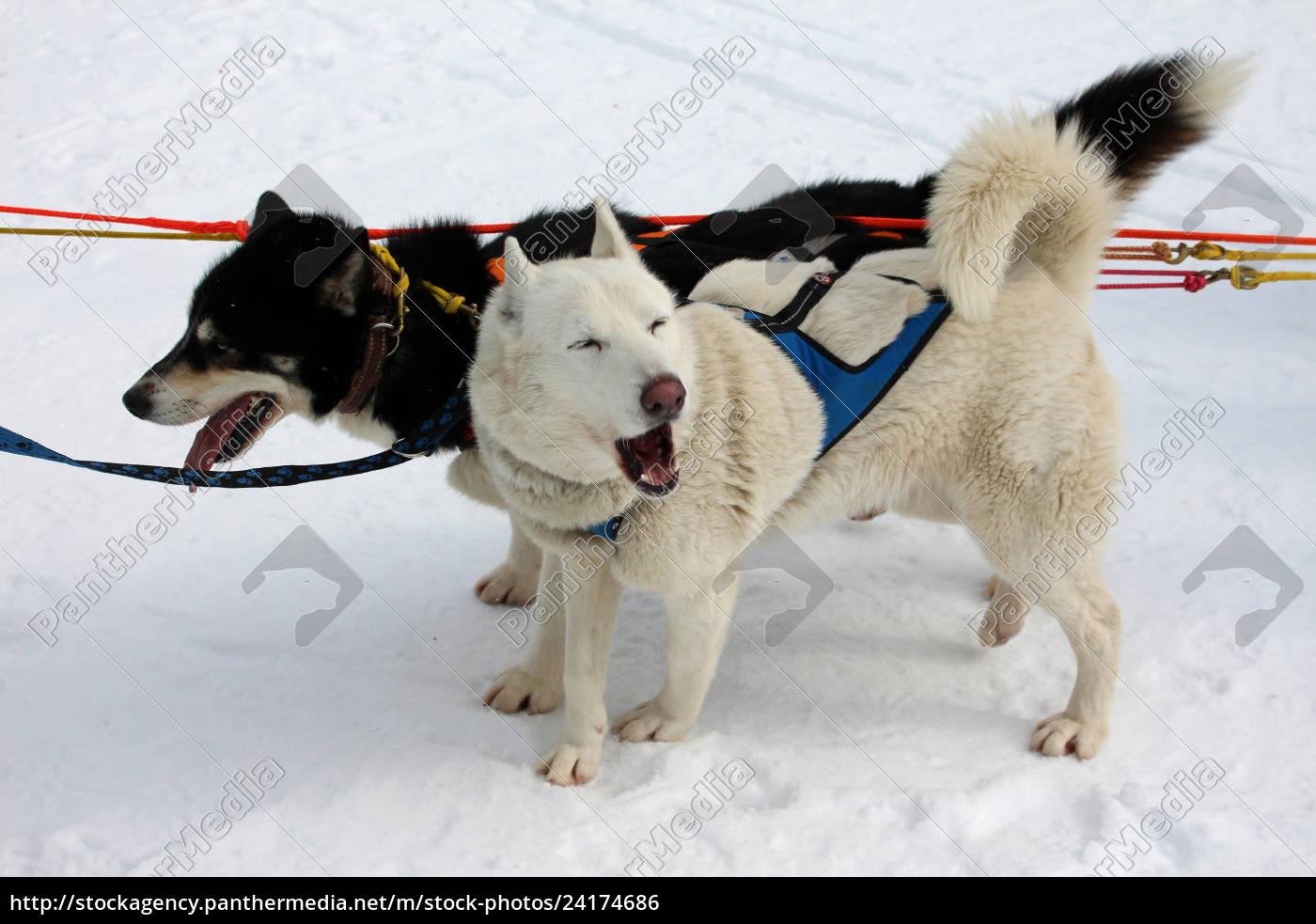 hund, , schlittenhunde, , husky, , polarhunde, , rennen, , schlittenhunderennen, - 24174686