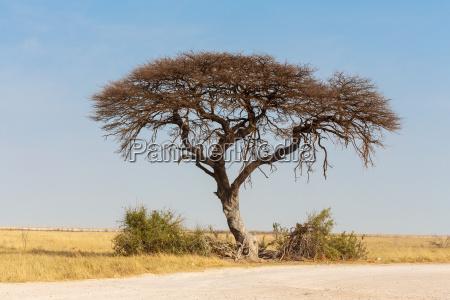akazienbaum in der ebene afrikas