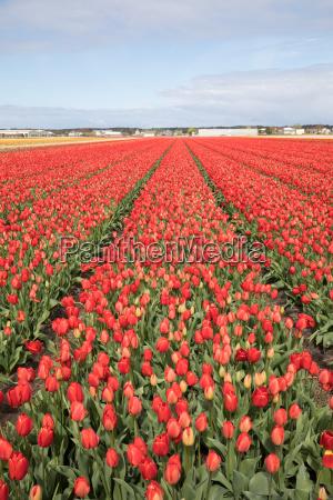 tulpenfelder der bollenstreek suedholland niederlande
