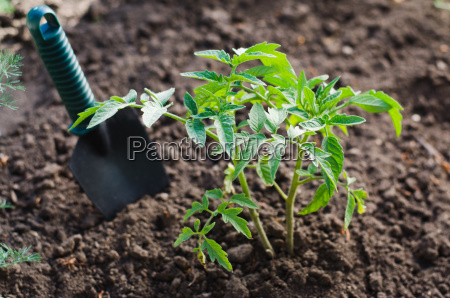 growing tomato plant in a vegetable
