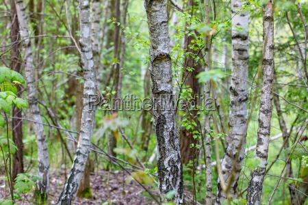 birch tree in countryside
