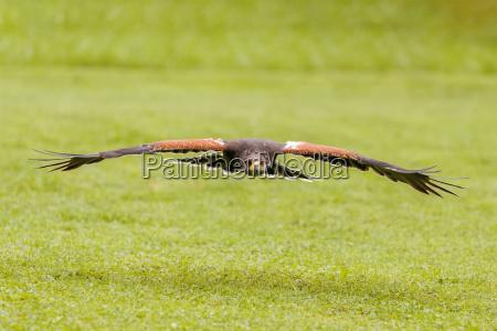 geschulter vogelfalkenflieger in der natur