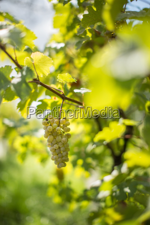 white wine grapes in a vineyard