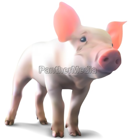 piglet on white background