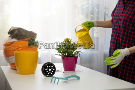 woman watering indoor plant after planting