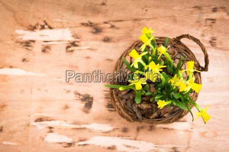 amazing yellow daffodils flowers in basket