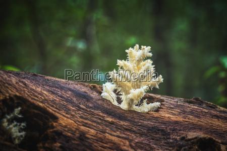 koestliche essbare weisse pilz coral hericium