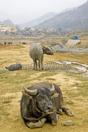 water buffalo bubalus bubalis vietnam asia