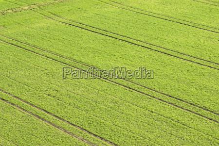 traktor spuren im winterweizenfeld