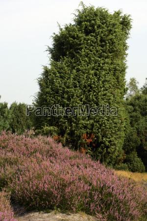 landscape with flowering heather calluna vulgaris