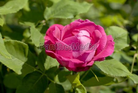 remontant rose ulrich brunner fils