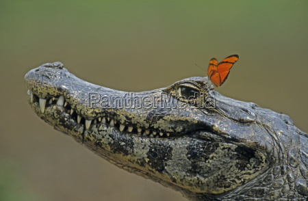 spectacled caiman caiman crocodilus with butterfly