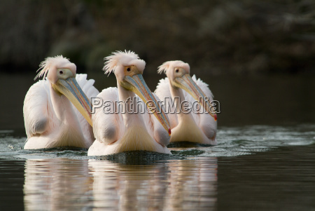 3 rosapelikane pelecanus onocrotalus schwimmen in