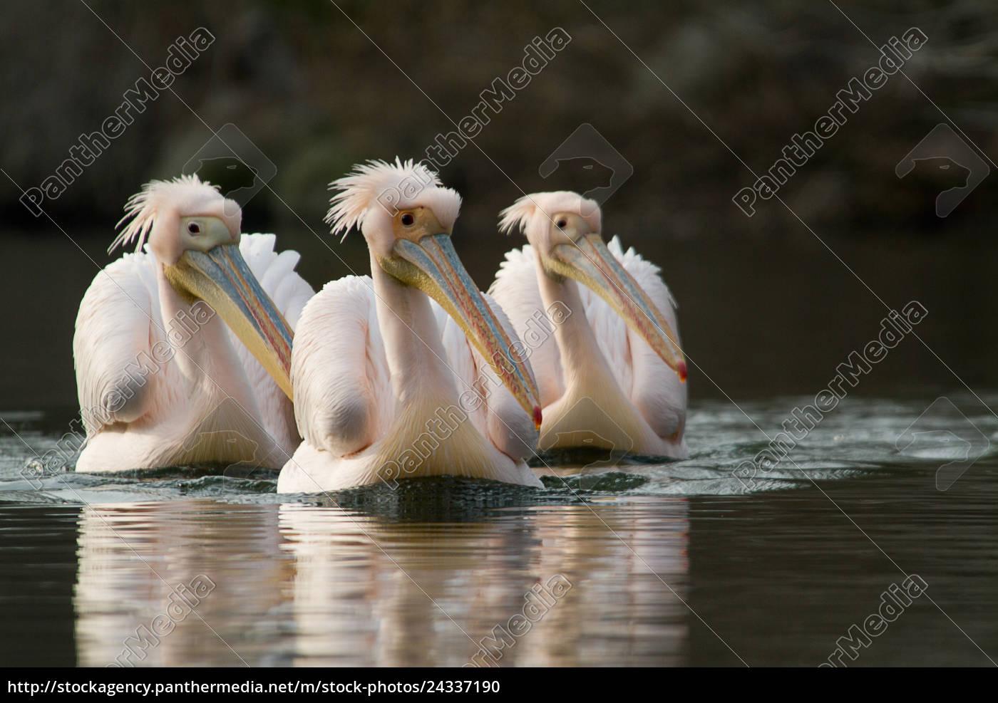 3, rosapelikane, (pelecanus, onocrotalus), schwimmen, in - 24337190