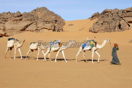 tuareg geht mit kamelen durch die