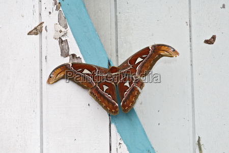 atlasspinner attacus atlas sungai mahakam