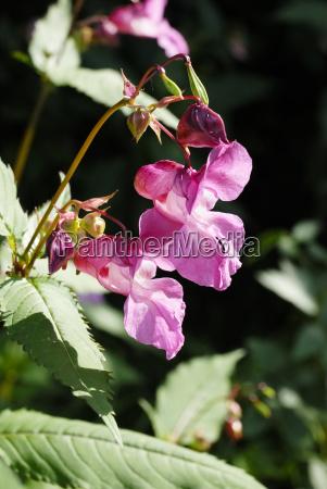 indisches springkraut impatiens glandulifera royle balsaminaceae