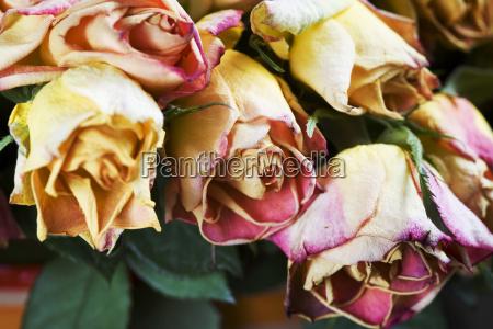 verwelkte rosen detail