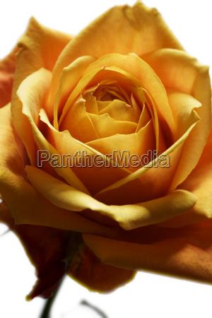 detail einer verbluhenden gelben rose