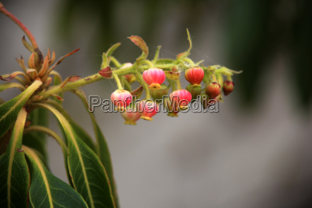 erdbeerbaum arbutus canariensis bluehend