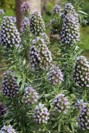 natternkopf echium brevirame bluehend