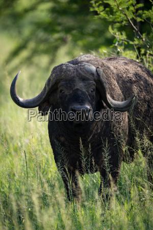 close up of cape buffalo staring