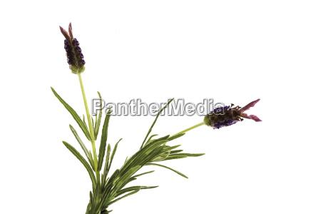 schopf lavendel lavandula stoechas