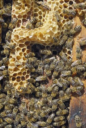 honigbienen apis melifera ssp carnica kommen