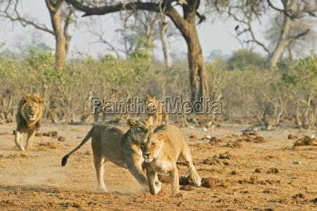 lowen panthera leo jagen sich gegenseitig