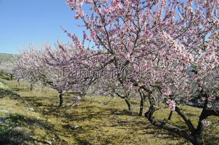 almond butad prunus dulcis prunus amygdalus