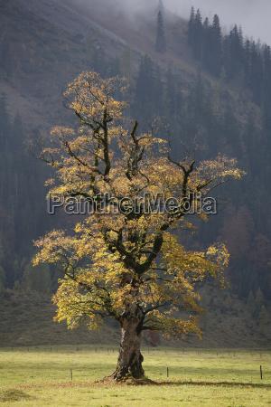 maple treegrosser ahornbodenengtalkarwendel mountainstyrolaustriaeurope