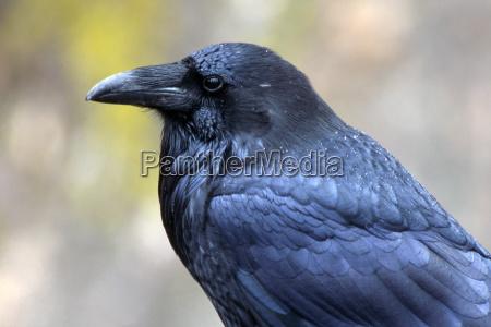 common raven corvus corax karwendel mountains