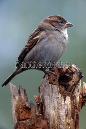 house sparrow passer domesticus female schwaz