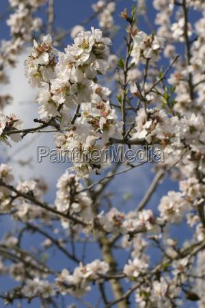 almond blossom prunus dulcis prunus amygdalus