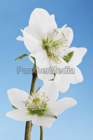 christrose, , , schneerose, (helleborus, niger) - 24451386